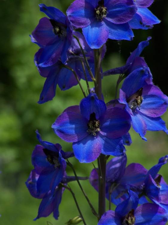 Delphinium  Excalibur Dark Blue/White Bee- szarkaláb